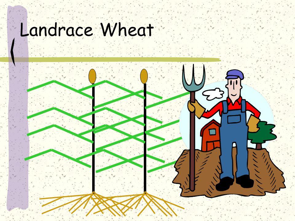 Landrace Wheat