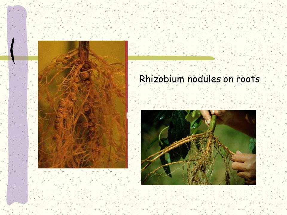 Rhizobium nodules on roots