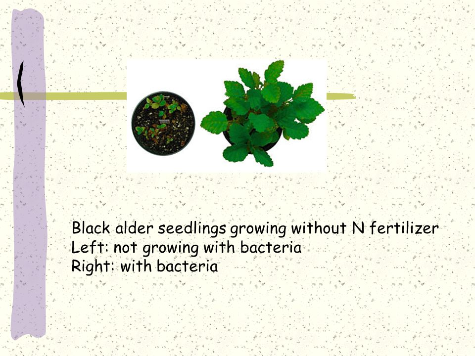 Black alder seedlings growing without N fertilizer Left: not growing with bacteria Right: with bacteria