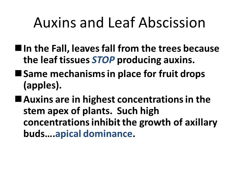 Auxins and Leaf Abscission In the Fall, leaves fall from the trees because the leaf tissues STOP producing auxins.