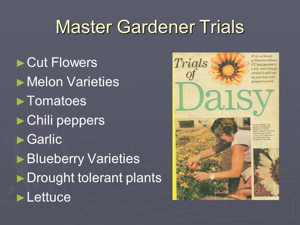 Master Gardener Trials ► ► Cut Flowers ► ► Melon Varieties ► ► Tomatoes ► ► Chili peppers ► ► Garlic ► ► Blueberry Varieties ► ► Drought tolerant plants ► ► Lettuce