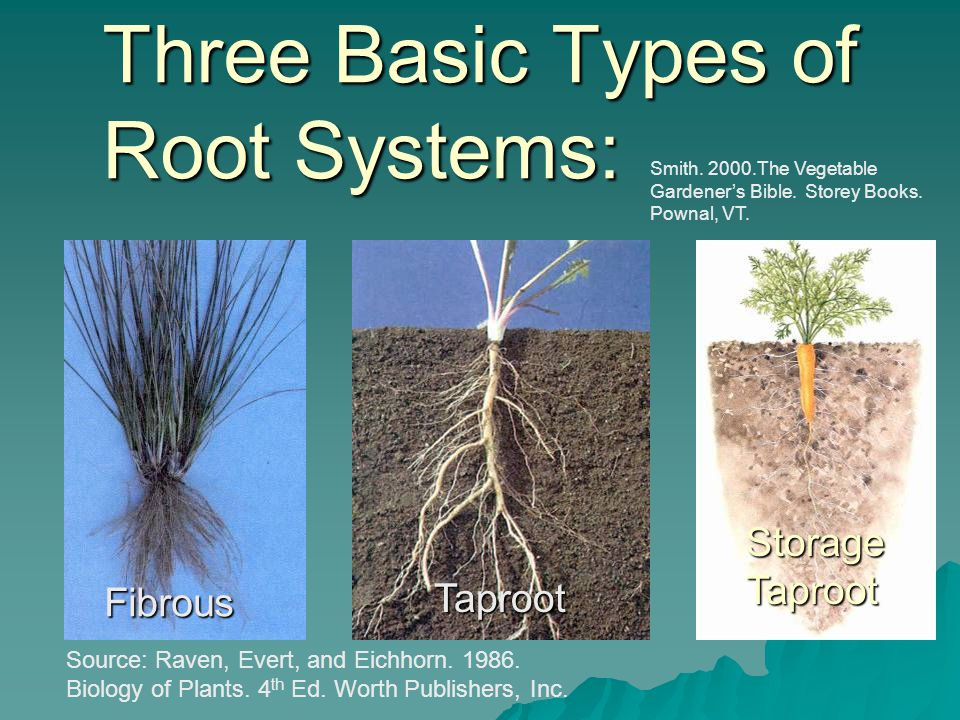 Three Basic Types of Root Systems: Fibrous Taproot StorageTaproot Source: Raven, Evert, and Eichhorn.