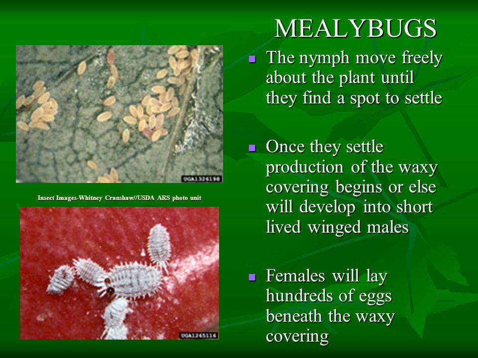 Insect Images-Whitney Cranshaw//USDA ARS photo unit MEALYBUGS MEALYBUGS The nymph move freely about the plant until they find a spot to settle The nymph move freely about the plant until they find a spot to settle Once they settle production of the waxy covering begins or else will develop into short lived winged males Once they settle production of the waxy covering begins or else will develop into short lived winged males Females will lay hundreds of eggs beneath the waxy covering Females will lay hundreds of eggs beneath the waxy covering
