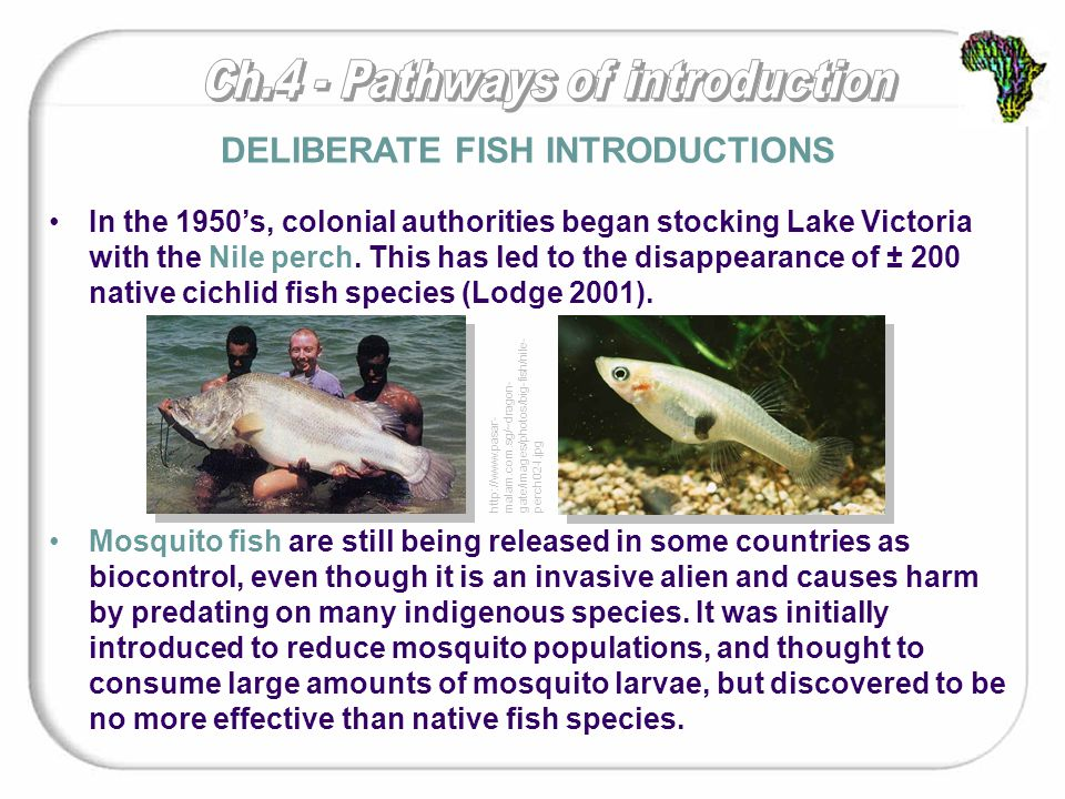 In the 1950's, colonial authorities began stocking Lake Victoria with the Nile perch.