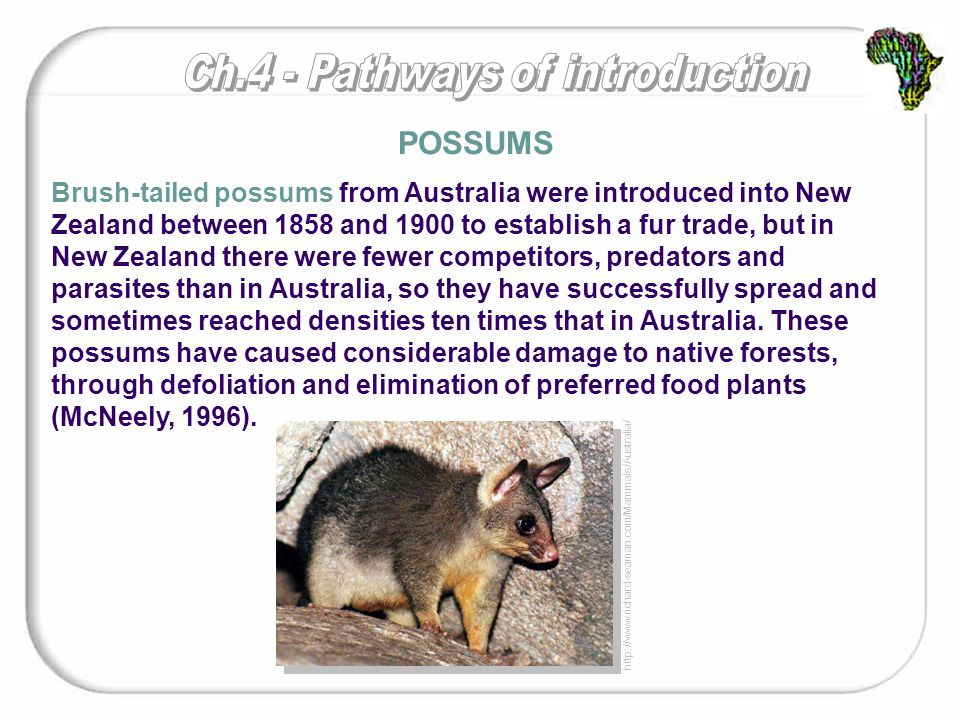 Brush-tailed possums from Australia were introduced into New Zealand between 1858 and 1900 to establish a fur trade, but in New Zealand there were fewer competitors, predators and parasites than in Australia, so they have successfully spread and sometimes reached densities ten times that in Australia.