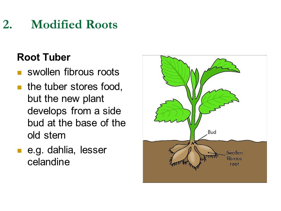 2.Modified Roots Root Tuber swollen fibrous roots the tuber stores food, but the new plant develops from a side bud at the base of the old stem e.g. d