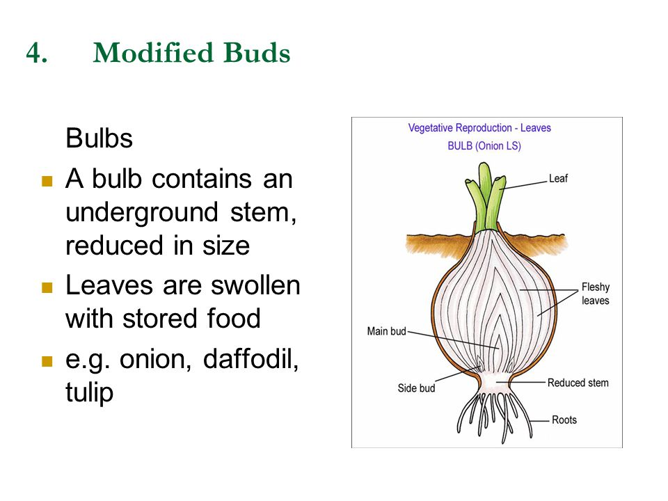 4.Modified Buds Bulbs A bulb contains an underground stem, reduced in size Leaves are swollen with stored food e.g. onion, daffodil, tulip