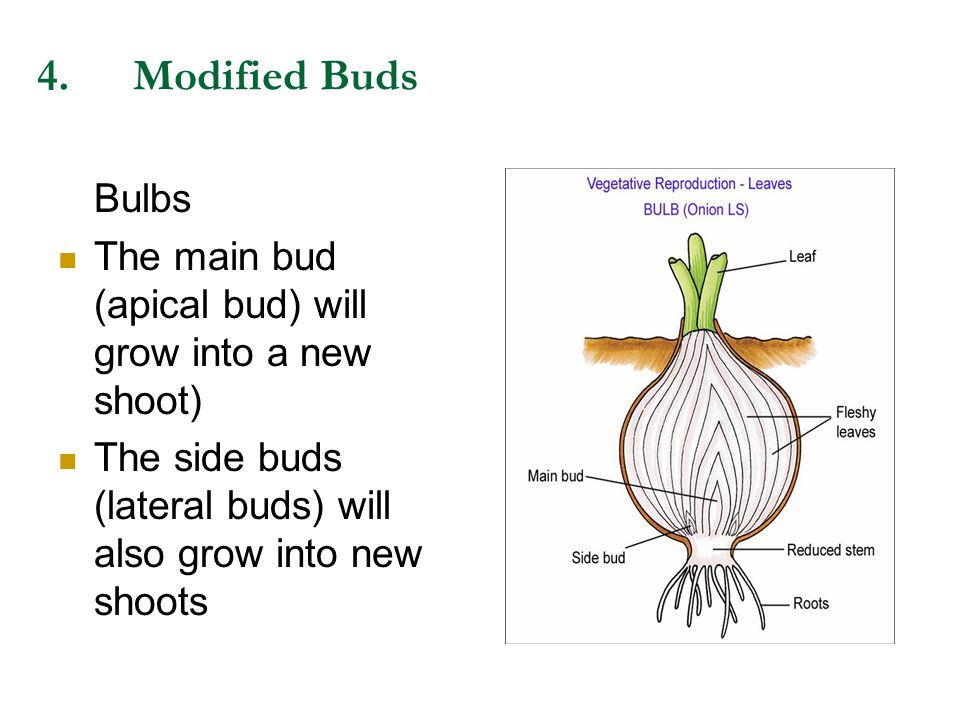 4.Modified Buds Bulbs The main bud (apical bud) will grow into a new shoot) The side buds (lateral buds) will also grow into new shoots