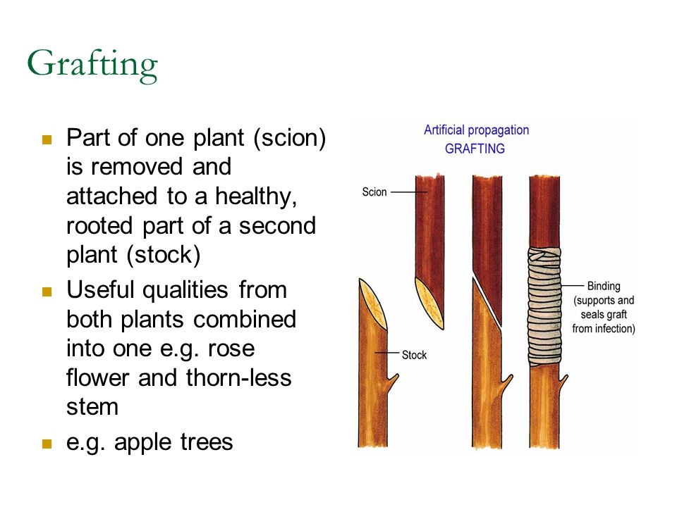 Grafting Part of one plant (scion) is removed and attached to a healthy, rooted part of a second plant (stock) Useful qualities from both plants combi