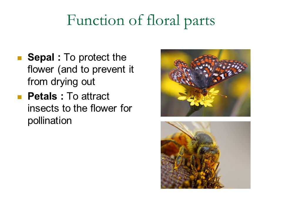 Function of floral parts Sepal : To protect the flower (and to prevent it from drying out Petals : To attract insects to the flower for pollination