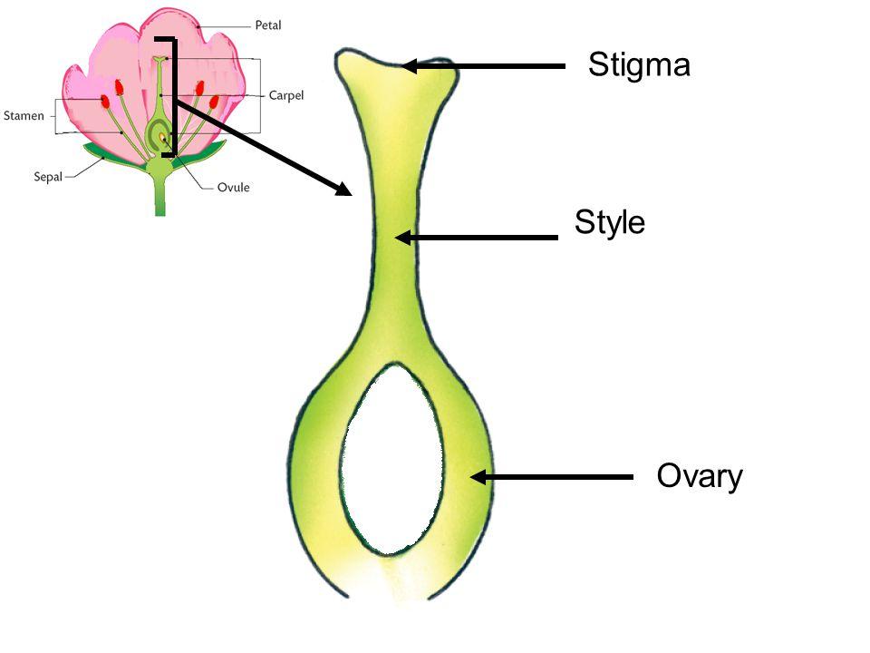 Stigma Style Ovary