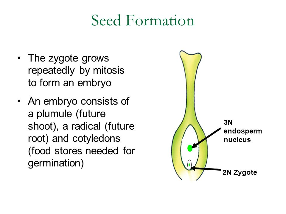 Seed Formation The zygote grows repeatedly by mitosis to form an embryo An embryo consists of a plumule (future shoot), a radical (future root) and cotyledons (food stores needed for germination) 3N endosperm nucleus 2N Zygote