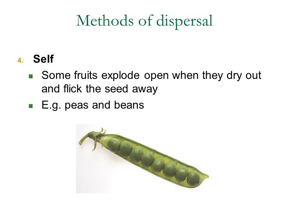 Methods of dispersal 4. Self Some fruits explode open when they dry out and flick the seed away E.g. peas and beans