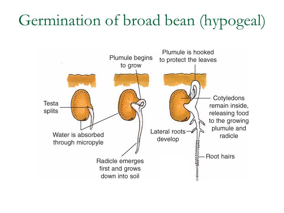 Germination of broad bean (hypogeal)