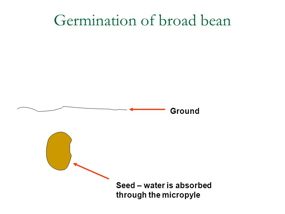 Seed – water is absorbed through the micropyle Ground Germination of broad bean