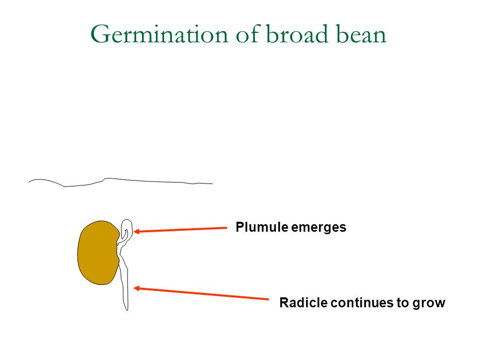 Radicle continues to grow Plumule emerges Germination of broad bean
