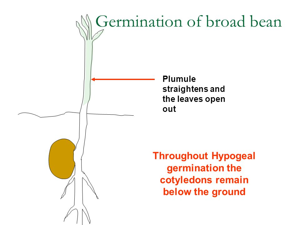 Plumule straightens and the leaves open out Throughout Hypogeal germination the cotyledons remain below the ground Germination of broad bean