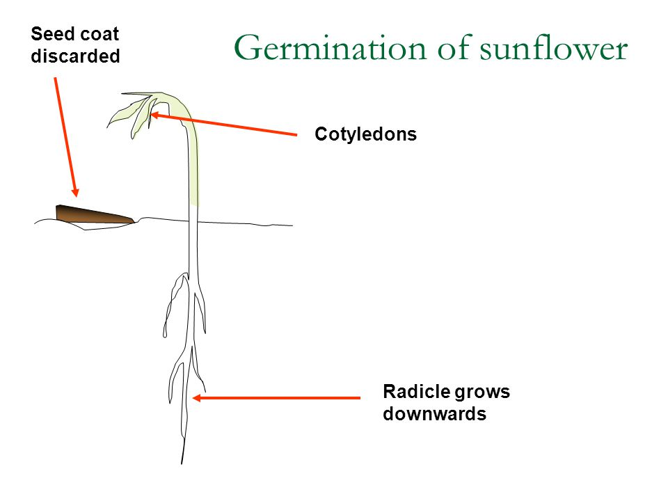 Radicle grows downwards Seed coat discarded Cotyledons Germination of sunflower