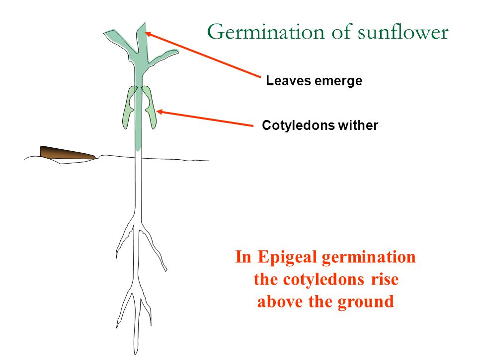 Leaves emerge Cotyledons wither Germination of sunflower In Epigeal germination the cotyledons rise above the ground