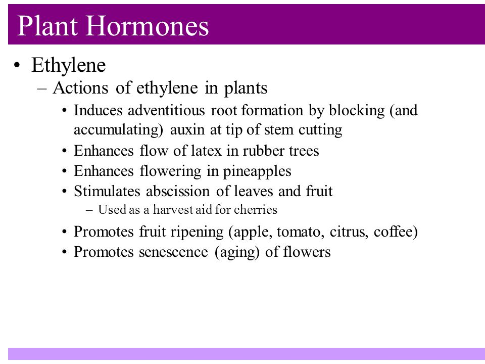 Plant Hormones Ethylene –Actions of ethylene in plants Induces adventitious root formation by blocking (and accumulating) auxin at tip of stem cutting Enhances flow of latex in rubber trees Stimulates abscission of leaves and fruit –Used as a harvest aid for cherries Promotes fruit ripening (apple, tomato, citrus, coffee) Promotes senescence (aging) of flowers Enhances flowering in pineapples