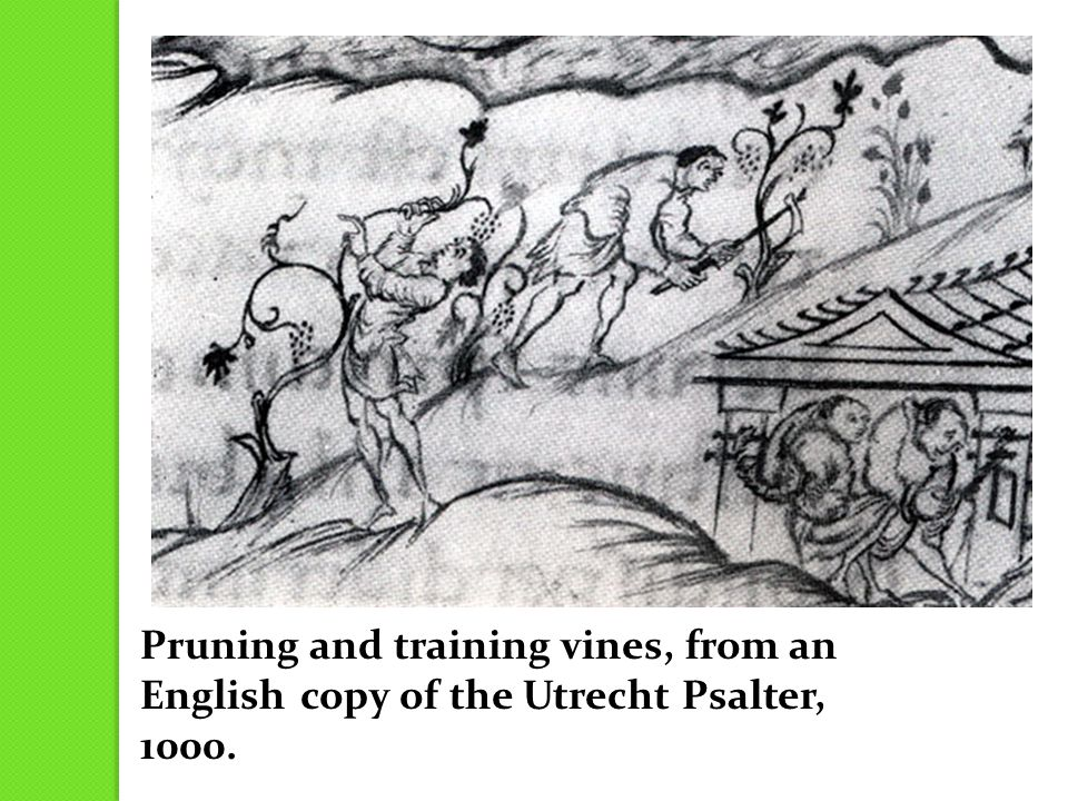 Pruning and training vines, from an English copy of the Utrecht Psalter, 1000.