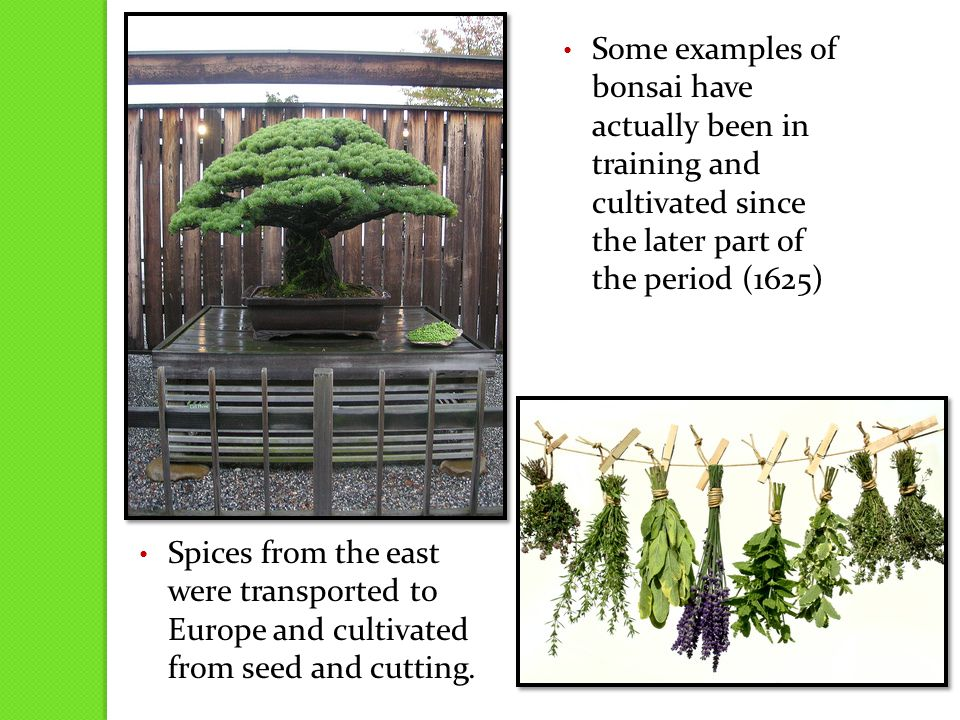 Some examples of bonsai have actually been in training and cultivated since the later part of the period (1625) Spices from the east were transported to Europe and cultivated from seed and cutting.