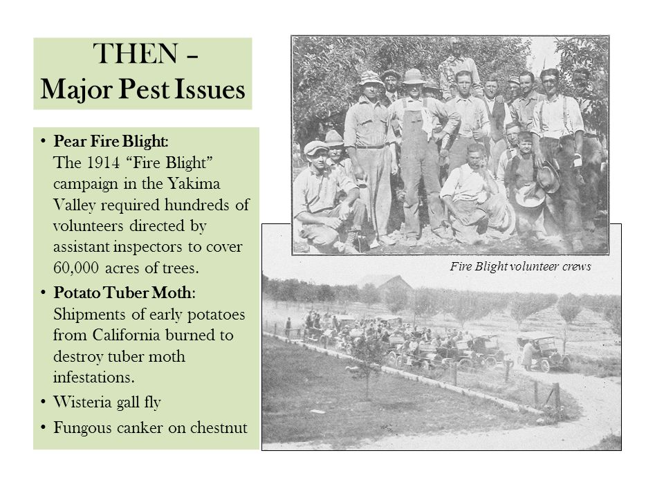 "THEN – Major Pest Issues Pear Fire Blight: The 1914 ""Fire Blight"" campaign in the Yakima Valley required hundreds of volunteers directed by assistant"