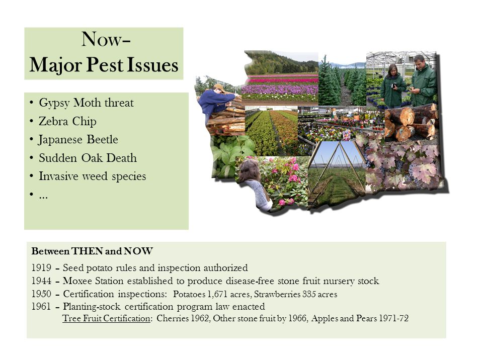 Now– Major Pest Issues Gypsy Moth threat Zebra Chip Japanese Beetle Sudden Oak Death Invasive weed species … Fire Blight volunteer crews Between THEN and NOW 1919 – Seed potato rules and inspection authorized 1944 – Moxee Station established to produce disease-free stone fruit nursery stock 1950 – Certification inspections: Potatoes 1,671 acres, Strawberries 335 acres 1961 – Planting-stock certification program law enacted Tree Fruit Certification: Cherries 1962, Other stone fruit by 1966, Apples and Pears 1971-72