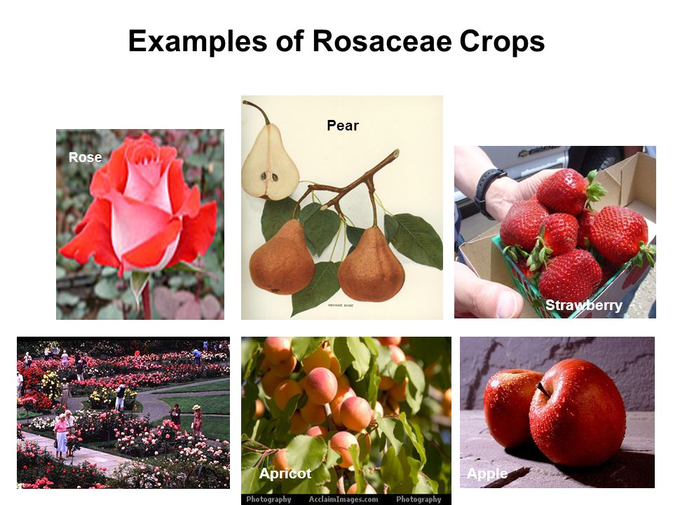 Examples of Rosaceae Crops Rose Pear Strawberry AppleApricot