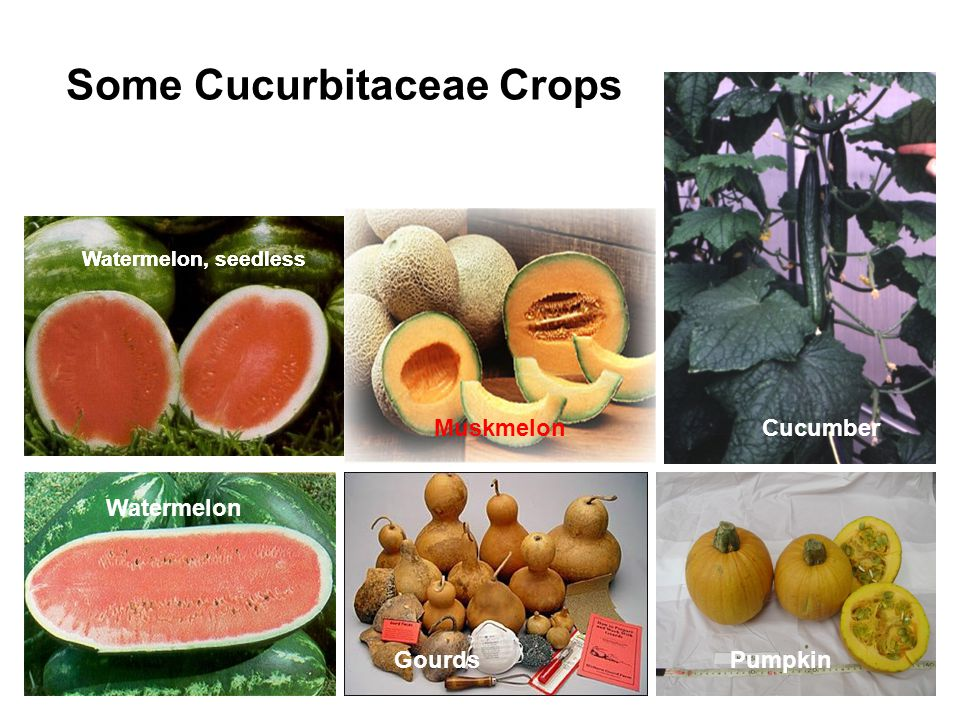 Some Cucurbitaceae Crops Cucumber Watermelon, seedless Watermelon GourdsPumpkin Muskmelon