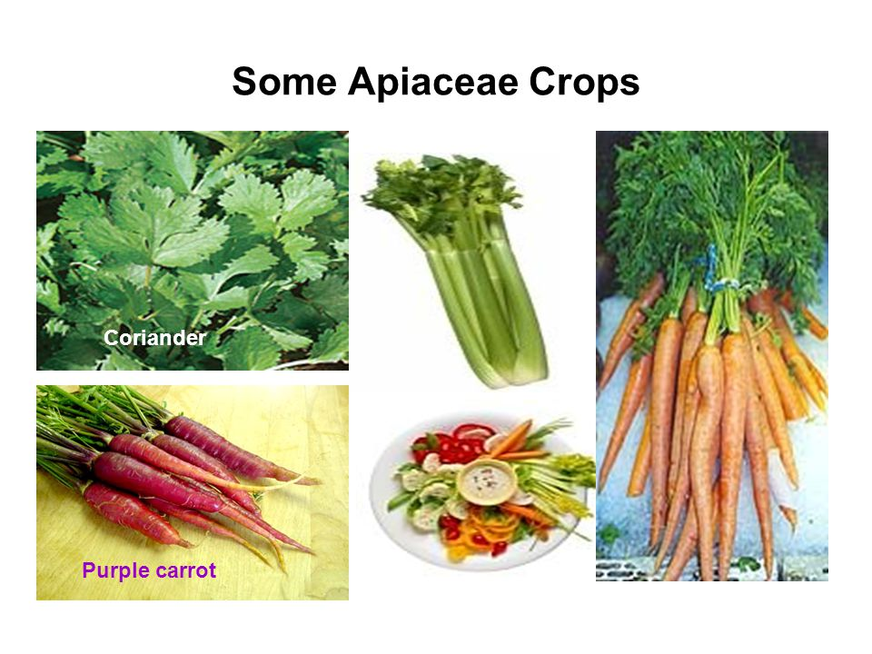 Some Apiaceae Crops Coriander Purple carrot