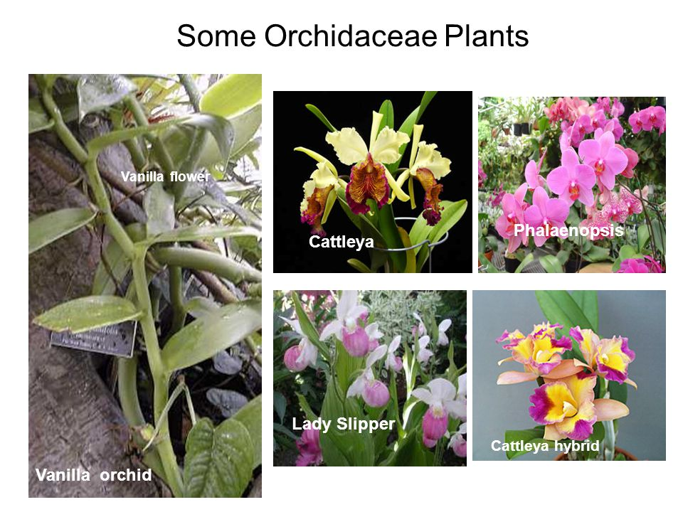 Orchid popularity is increasing worldwide