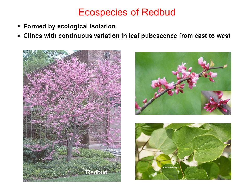 Ecospecies of Redbud  Formed by ecological isolation  Clines with continuous variation in leaf pubescence from east to west Redbud
