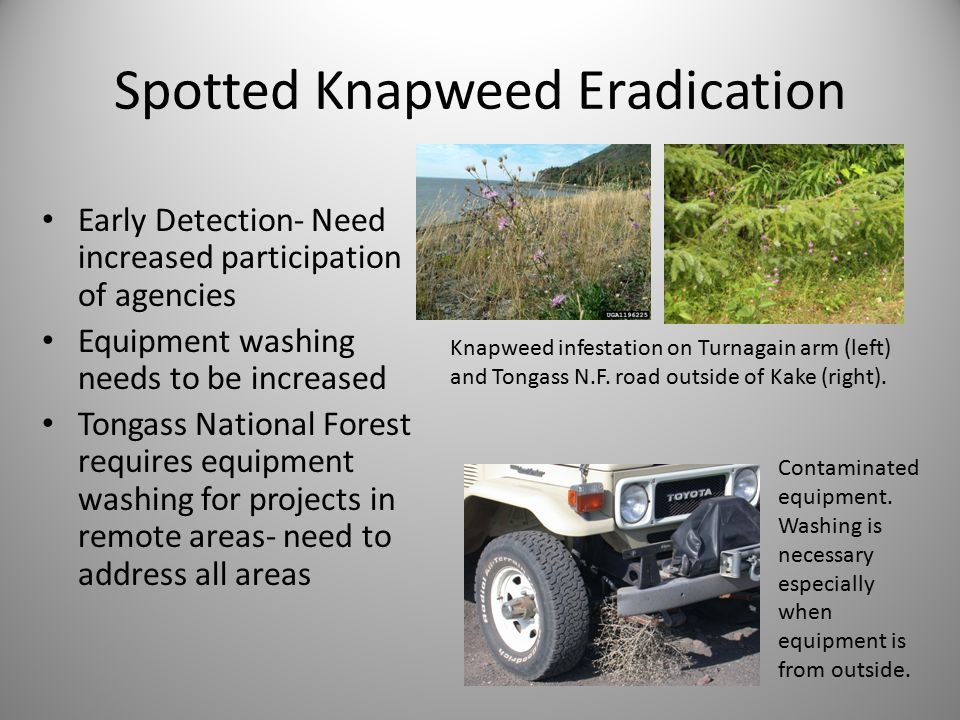 Spotted Knapweed Eradication Early Detection- Need increased participation of agencies Equipment washing needs to be increased Tongass National Forest requires equipment washing for projects in remote areas- need to address all areas Knapweed infestation on Turnagain arm (left) and Tongass N.F.