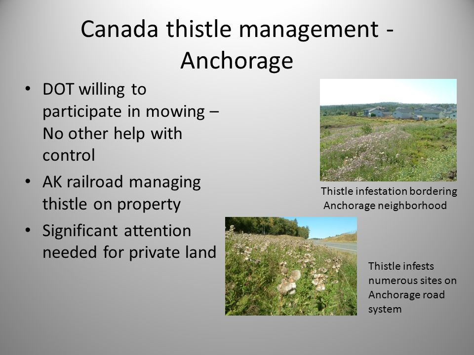 Canada thistle management - Anchorage DOT willing to participate in mowing – No other help with control AK railroad managing thistle on property Significant attention needed for private land Thistle infestation bordering Anchorage neighborhood Thistle infests numerous sites on Anchorage road system