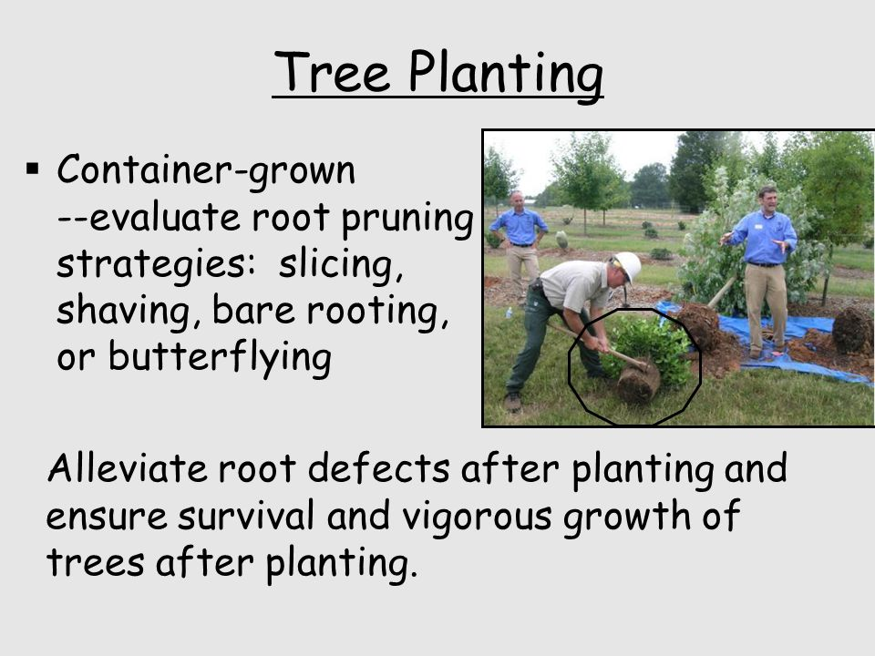 Tree Planting  Container-grown --evaluate root pruning strategies: slicing, shaving, bare rooting, or butterflying Alleviate root defects after planting and ensure survival and vigorous growth of trees after planting.
