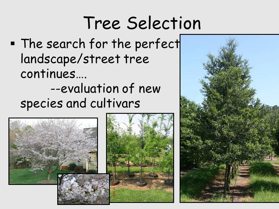 Tree Selection  The search for the perfect landscape/street tree continues….