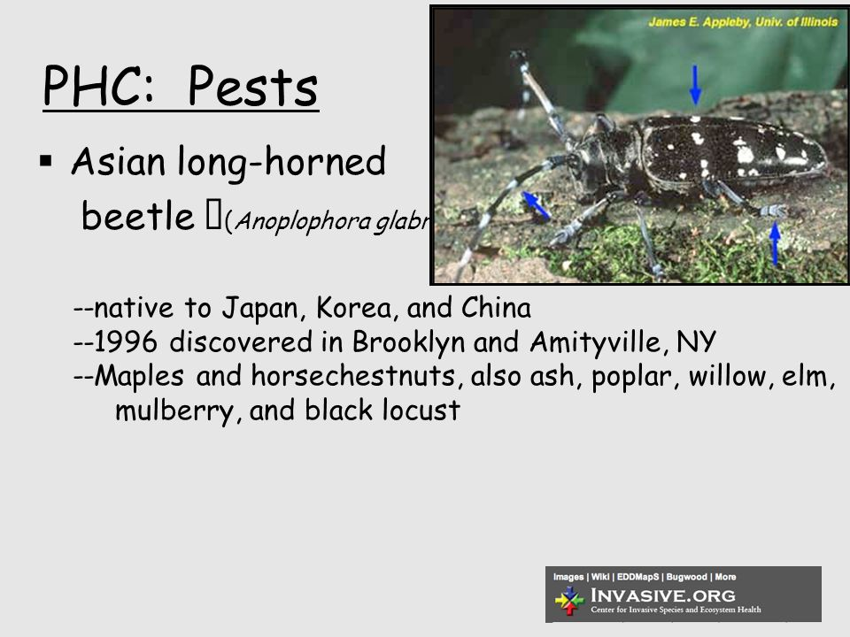 PHC: Pests  Asian long-horned beetle (Anoplophora glabripennis) --native to Japan, Korea, and China --1996 discovered in Brooklyn and Amityville, NY --Maples and horsechestnuts, also ash, poplar, willow, elm, mulberry, and black locust