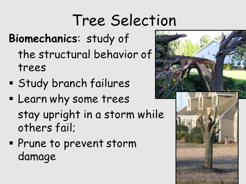 Tree Selection Biomechanics: study of the structural behavior of trees  Study branch failures  Learn why some trees stay upright in a storm while others fail;  Prune to prevent storm damage