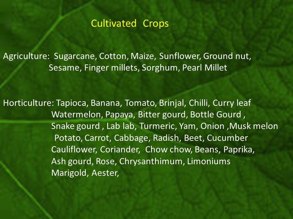 Cultivated Crops Agriculture: Sugarcane, Cotton, Maize, Sunflower, Ground nut, Sesame, Finger millets, Sorghum, Pearl Millet Horticulture: Tapioca, Ba
