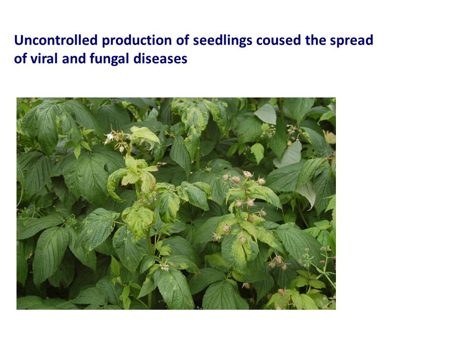 Uncontrolled production of seedlings coused the spread of viral and fungal diseases