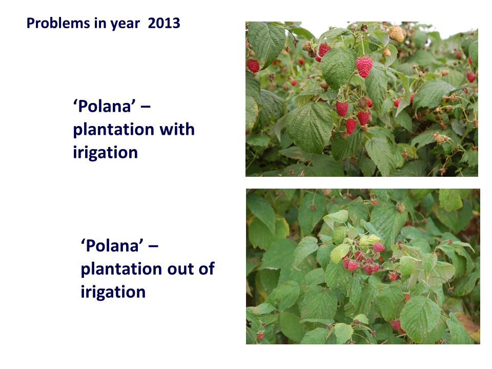 Problems in year 2013 'Polana' – plantation with irigation 'Polana' – plantation out of irigation