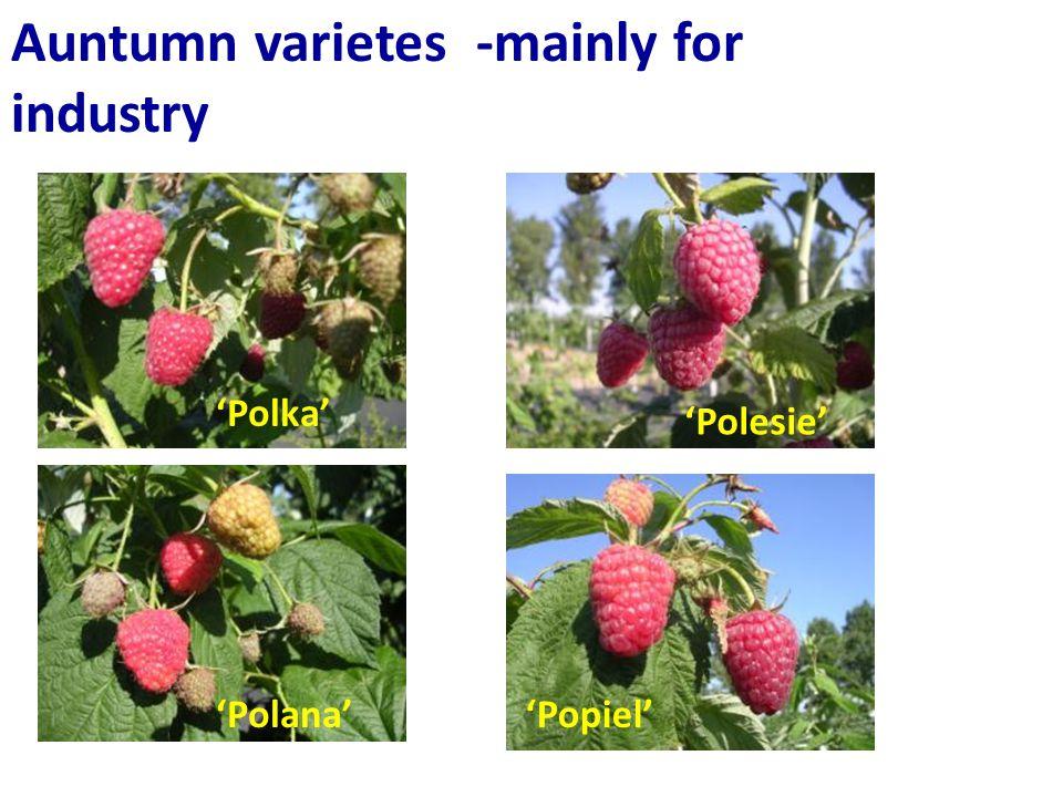 Auntumn varietes -mainly for industry 'Popiel' 'Polesie' 'Polana' 'Polka'