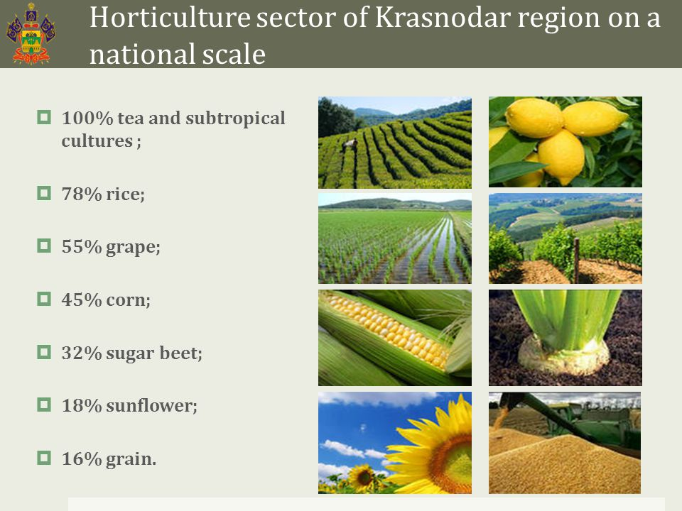 Horticulture sector of Krasnodar region on a national scale  100% tea and subtropical cultures ;  78% rice;  55% grape;  45% corn;  32% sugar beet;  18% sunflower;  16% grain.