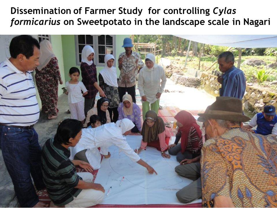 Dissemination of Farmer Study for controlling Cylas formicarius on Sweetpotato in the landscape scale in Nagari