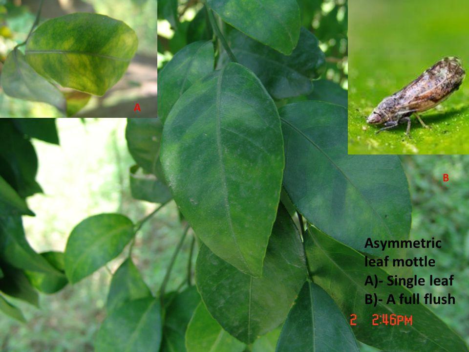Asymmetric leaf mottle A)- Single leaf B)- A full flush A B