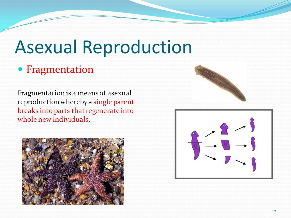 Asexual Reproduction Fragmentation 10 Fragmentation is a means of asexual reproduction whereby a single parent breaks into parts that regenerate into