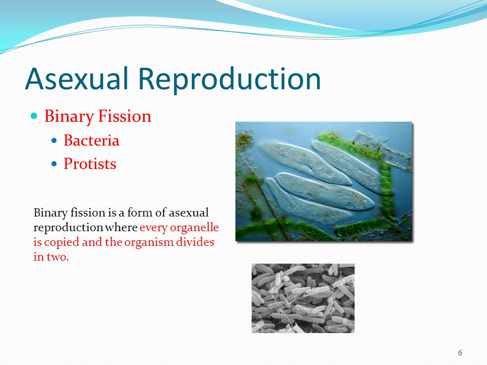 Asexual Reproduction Binary Fission Bacteria Protists 6 Binary fission is a form of asexual reproduction where every organelle is copied and the organ