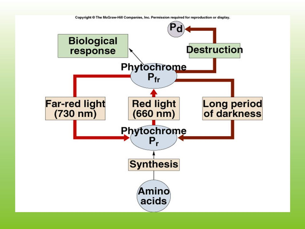Auxin continued...Acid growth hypothesis provides a model linking auxin to cell wall expansion.