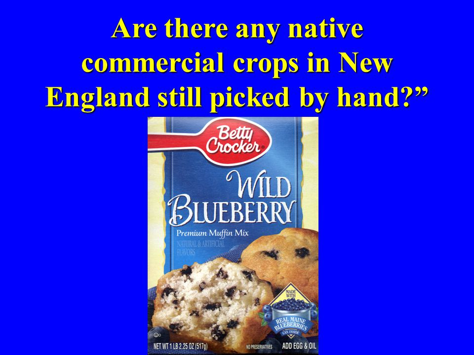 Are there any native commercial crops in New England still picked by hand?""